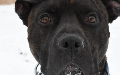 ADOPTED – ECHO – 2 YEAR OLD CANE CORSO/BOXER MIX