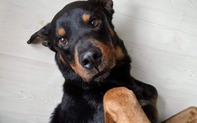 ADOPTED – ZANE – 4 YEAR OLD ROTTWEILER MIX