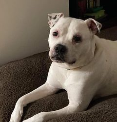 ADOPTED! MOCCHI – 4 YEAR OLD AMERICAN BULLDOG