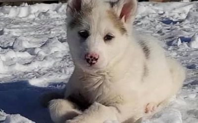 ADOPTED! TULOK – 11 WEEK OLD HUSKY