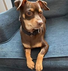 ADOPTED! MONTY – 2.5 YEAR OLD CHIHUAHUA MIX