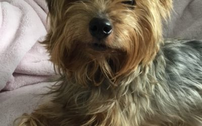 ADOPTED! DENVER – 7.5 YEAR OLD YORKIE