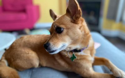 ADOPTED – OLLIE – 7 YEAR OLD CHI MIX