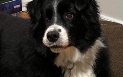 ADOPTED – SAM – 8 YEAR OLD BORDER COLLIE MIX