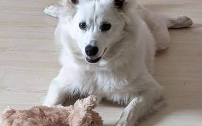 ADOPTED – MISKA – 6 MONTH OLD AMERICAN ESKIMO