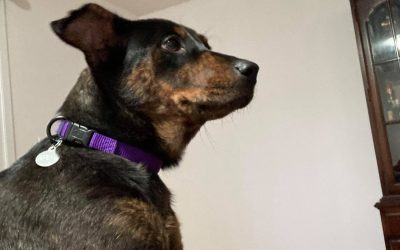 ADOPTED – CASSEROLE – 10 MONTH OLD RIDGEBACK MIX