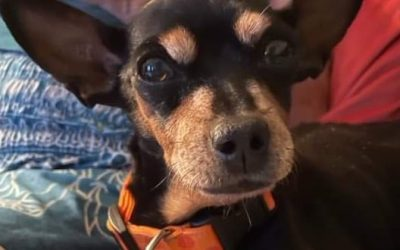 ADOPTED – OLIVE – 10.5 YEAR OLD MIN PIN X