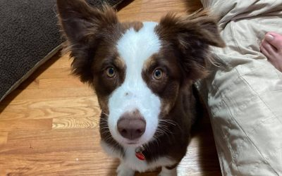 ADOPTED – ELGIN – 1 YEAR OLD BORDER COLLIE
