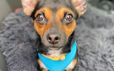 ADOPTED – JOJO – 11 MONTH OLD CHIHUAHUA MIX