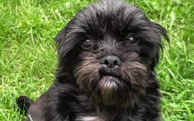 ADOPTED – LEROY – 5 YEAR OLD SHIH TZU TERRIER MIX