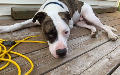 ADOPTED – BULLET – 2 YEAR OLD BULLY MIX