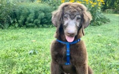 ADOPTED! GRIFFIN – 4.5 MONTH OLD POODLE MIX