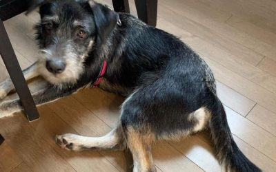 ADOPTED!! BEANIE – 1 YEAR OLD TERRIER MIX