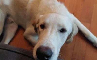 ADOPTED!!  CHESTER – 9.5 MONTH OLD LAB MIX